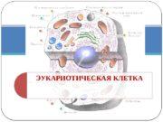 ЭУКАРИОТИЧЕСКАЯ КЛЕТКА  Многообразие клеток  Наружная цитоплазматическая