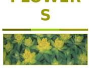 FLOWER S  CORN-FLOWE R  CARNATION