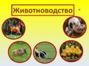 Животноводство – это часть сельского хозяйства.  Животноводы