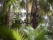 SHINING KOALAS  The Koala is a marsupial