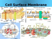 Cell Surface Membrane 03/19/16 Pork Chop Willie cell