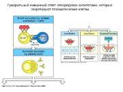 Гуморальный иммунный ответ опосредован антителами, которые секретируют плазматические