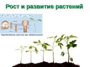 Рост и развитие растений Передвижение ауксина при эмбриогенезе