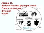 Лекция 11.  Выделительная функция почек.  Гомеостатическая