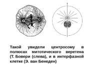 Такой увидели центросому в полюсах митотического веретена (Т.