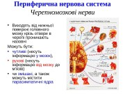 Презентация nerves cranialis and ANS