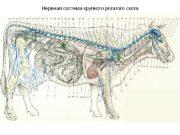 Нервная система крупного рогатого скота  Сагиттальный разрез