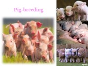 Презентация pig.2ppt