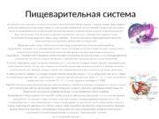 Пищеварительная система Жизнедеятельность организма человека невозможна без постоянного