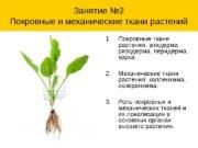 Занятие № 2 Покровные и механические ткани растений