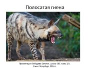 Полосатая гиена Презентация Лебедева Евгения, школа 585, класс