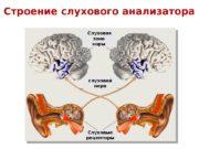Строение слухового анализатора Слуховые рецепторы слуховой нерв. Слуховая