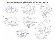 Эволюция мембранного лабиринта уха  Расположение и типы