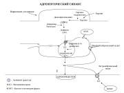 Презентация Справочный материал по Фармакологии на тему Адреномиметики. Л.А. Овсянникова