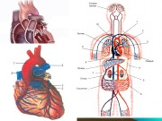 Презентация Строение и работа сердца