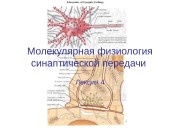 Молекулярная физиология синаптической передачи Лекция 4  Содержание