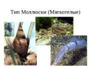Тип Моллюски (Мягкотелые)  Внешнее строение  Кровеносная