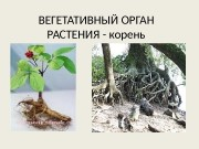 Презентация vegetativnyy organ rasteniya — koren