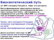 Биосинтетический путь (от ЭПР к аппарату Гольджи и
