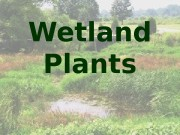 Презентация Wetland Plants Clarissa